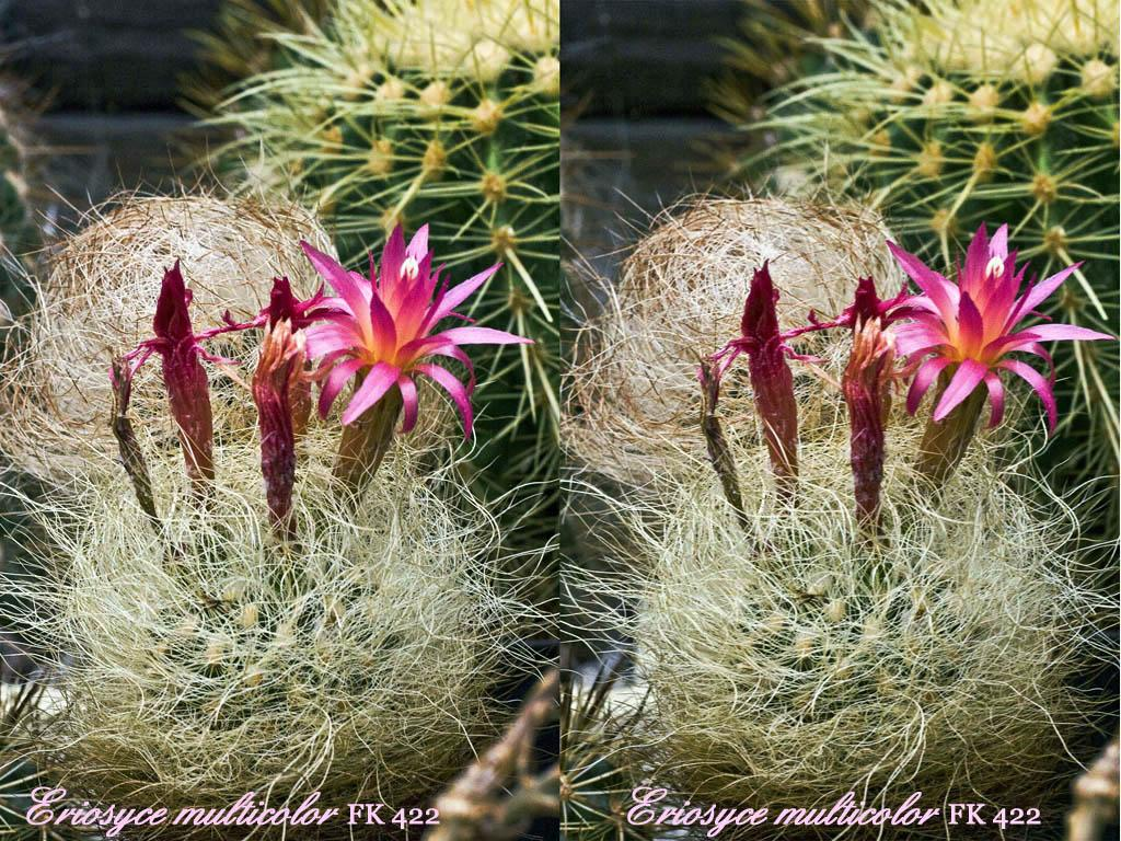 Цветные кактусы  moicvetiru