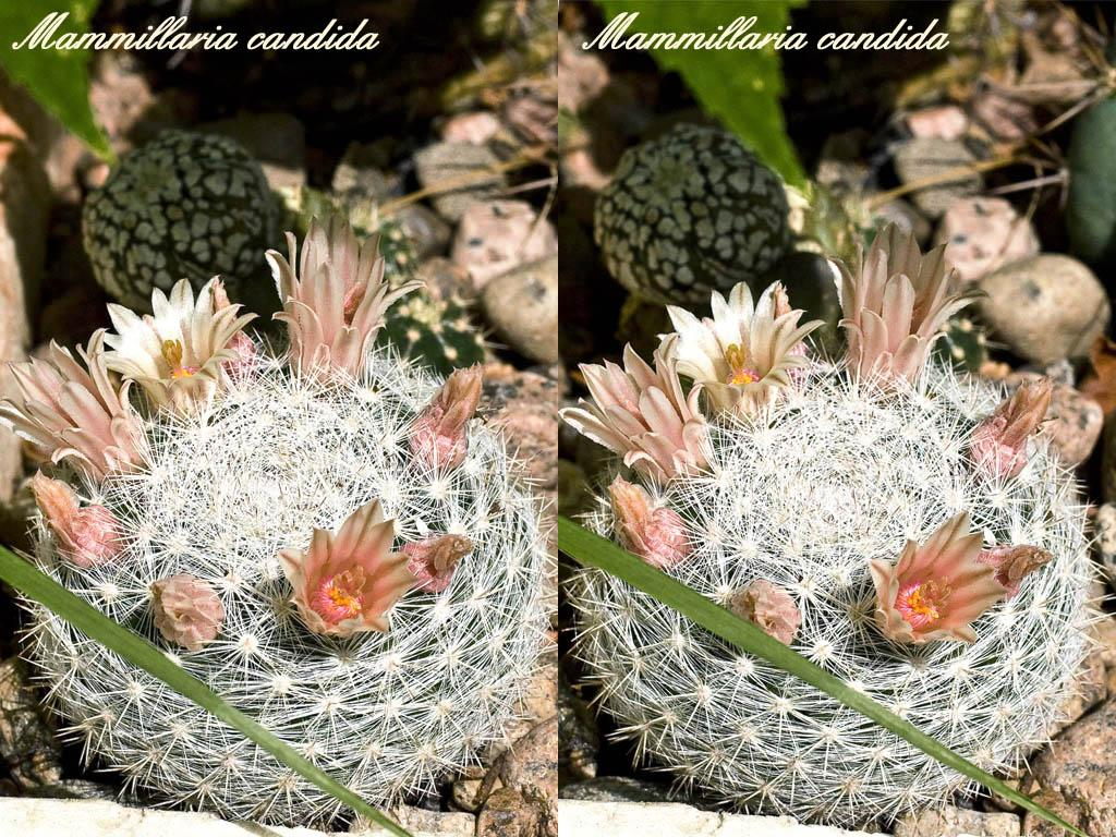 Все виды кактусов фото и названия